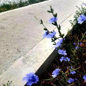 Цикорий нежно-голубой кивает в такт моим шагам, когда иду к себе домой я по утрам и вечерам