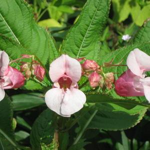 Цветочный Змей Горыныч (розовый бальзамин)