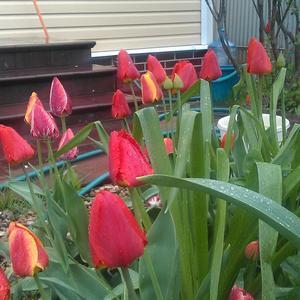Красные тюльпаны- вестники весны