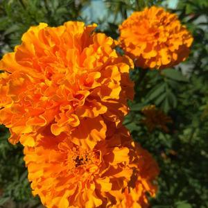 Бархатцы - оранжевый шик
