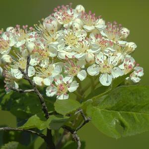 Лист, как у розы, цветок - как у яблони