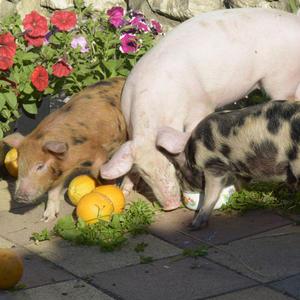 Свинки и апельсинки