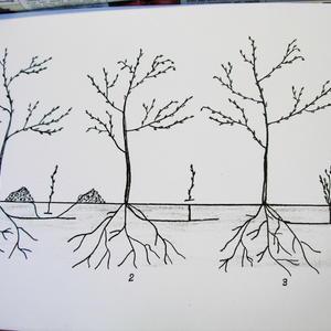 Удаление отпрысков вишни: правильное и не правильное. Рисунок-схема.