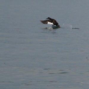 Успела рыбу схватить и пошла на взлёт, родимая!