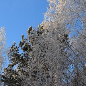 Верхушки заснеженных деревьев на фоне голубого неба