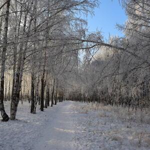 Берёзовая роща вся в снегу