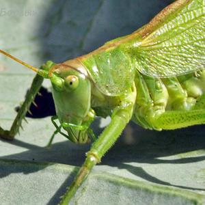 Зелёная кобылка