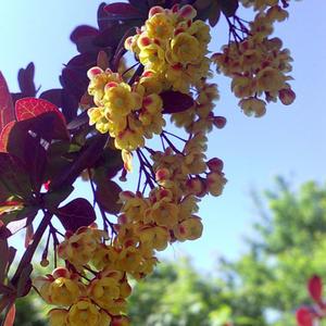 Солнечные цветки барбариса