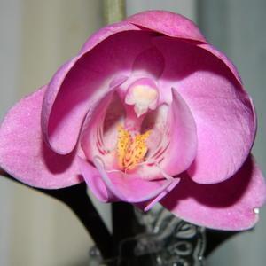 Раскрывается бутон нежной орхидеи