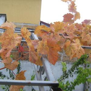 Пожелтели листья на винограде....