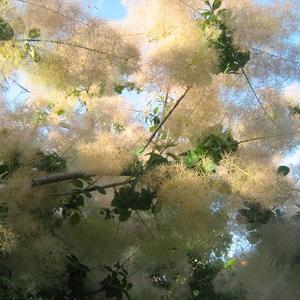 Южное декоративное дерево цветет