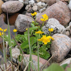 А вот и калужница раскрыла свои солнечные цветочки на берегу моего пруда