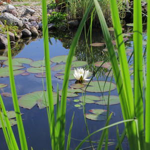 Вот первые нимфеи зацвели в пруду