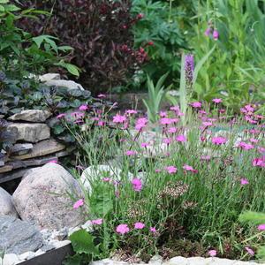 Гвоздика-травянка в рокарии растет
