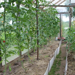Помидоры выращиваю на шпалере