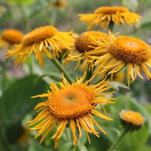 Солнечные девясила цветы