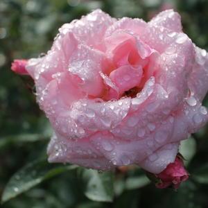 Пою я оду Розе, умытую дождем!
