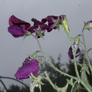 Душистый горошек под  дождливым небом раскрыл свои последние цветы...