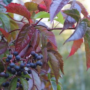 Вы все не верите, что осень к нам пришла, тогда взгляните на меня: и листья красные, и ягоды созрели!