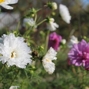 И космеи махровые все еще радуют своим пышным не по сезону цветением!