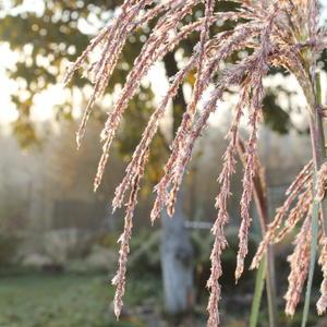 Жемчужное соцветие мискантуса на фоне туманного утра