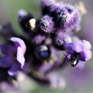 Цветок лаванды и ее гость