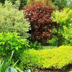 Я спирею подстригаю желтою подковою - стала изгородь живая и по форме - новая!