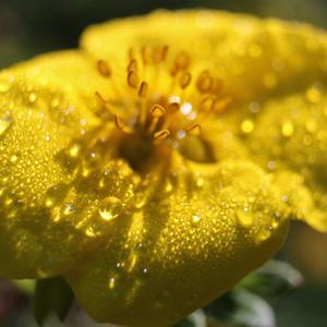 Цветок лапчатки желтой как будто в бриллиантах от утренней росы!