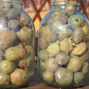 Ранний картофель на яровизации