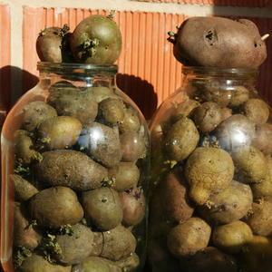 Яровизация раннего картофеля