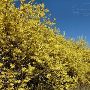 """Форзиция или """"золотое дерево"""""""
