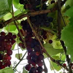 Грозди винограда небольшие, но много