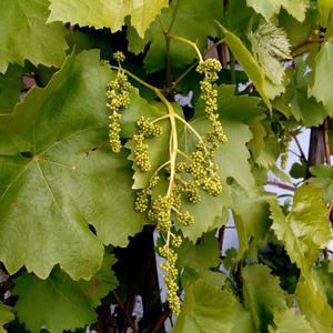 Юный виноград