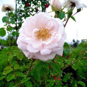 Любимая почвопокровная роза