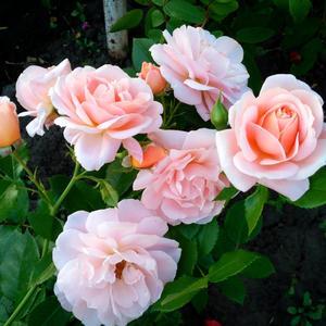 """Роза флорибунда """"Гейша"""""""