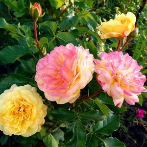 Неподражаемая роза Lampion