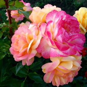 Разрумянилась роза Lampion