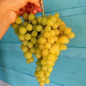 Уродился виноград на славу