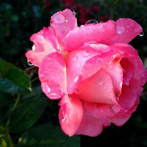 Роза Waikiki