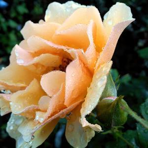 Роза Amber Queen в утренней росе