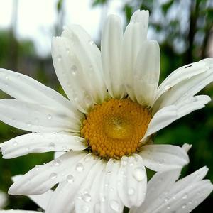 Ромашка после дождя