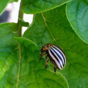 Колорадский жук. Застукали на месте преступления