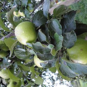 "Яблоки сорта ""Победа"""