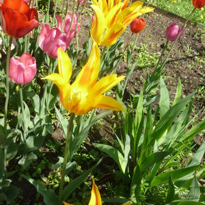 Жёлтые лилиецветные тюльпаны. Прошлогодний подарок от РО