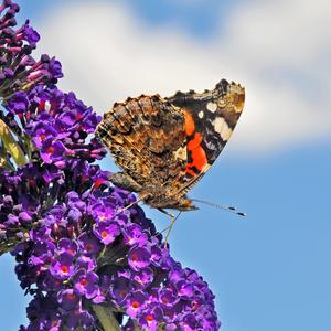Бабочка, небо, лето, буддлея...