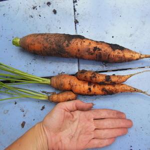 Чудо-морковка