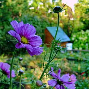 Космея в саду
