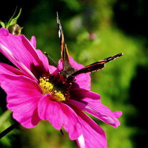 Космея и бабочка