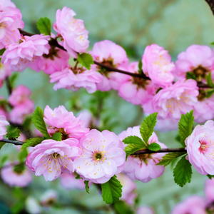 Луизеания - розовое чудо