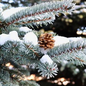 Голубую ёлочку припорошило белым снежком